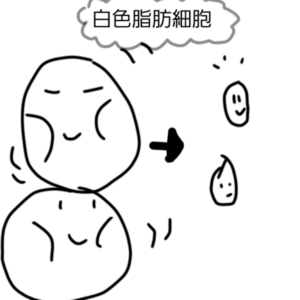 白色脂肪細胞